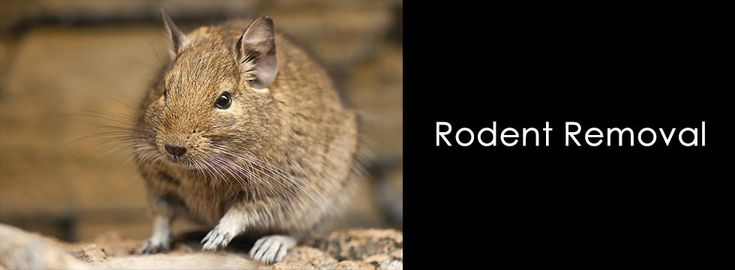 What Exactly Is A Rodent Again