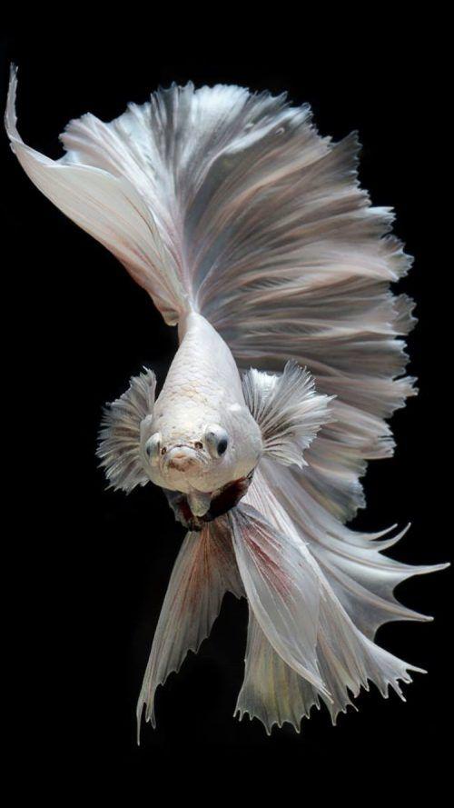25 best ideas about fish wallpaper on pinterest koi - Carp wallpaper iphone ...