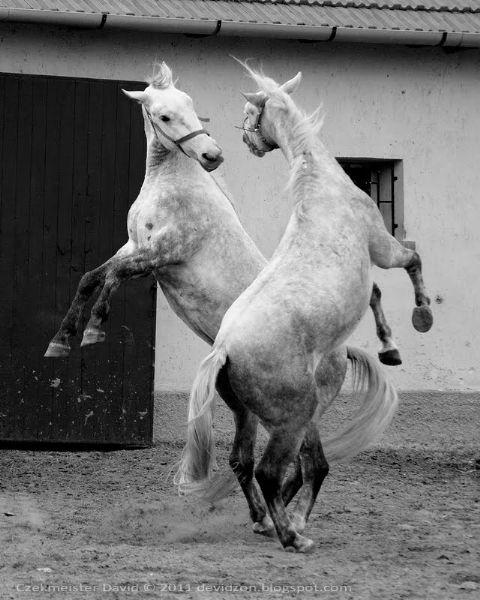 Lipizzaner horse - Hungary