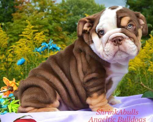 rare chocolate bulldog