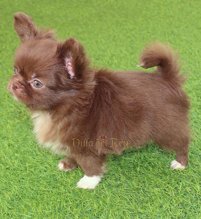 Chocolate Long Haired Chihuahua In 2020 Chihuahua Puppies Long Haired Chihuahua Puppies Cute Baby Animals