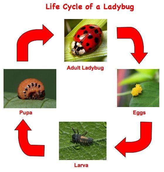Lifecycle of a ladybug...real pics