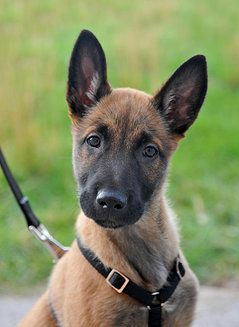 Belgian Malinois Personal Protection