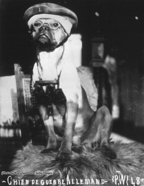A German Army dog from the First World War wearing a hat and glasses and carrying a pair of binoculars, 1916.