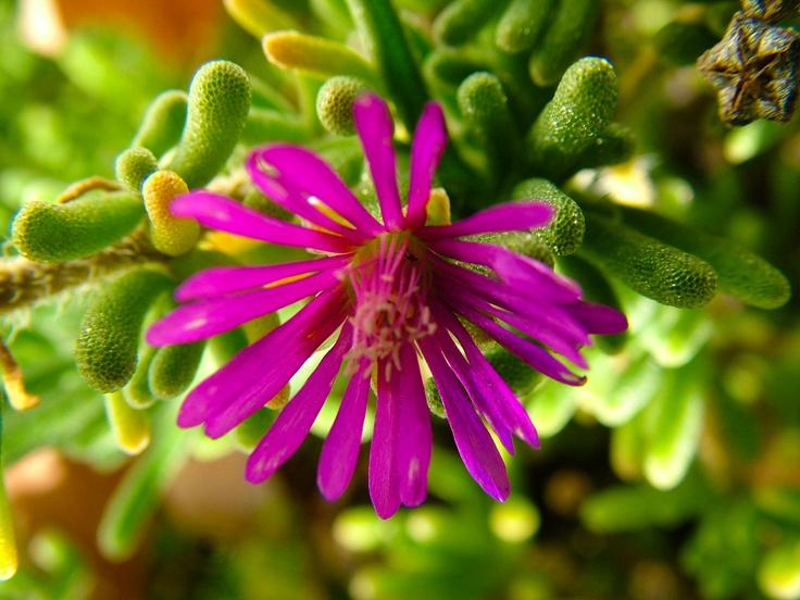 Dew Flower Drosanthemum hispidium