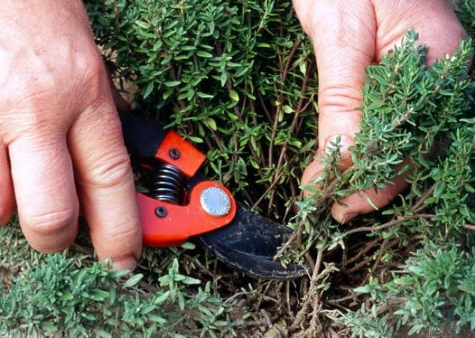 Récolter et conserver le thym - Le thym peut se récolter toute l'année pour parfumer les mets culinaires. Mais c'est en juin, lorsqu'il est en pleine floraison et que ses feuilles exhalent le plus de parfum, qu'il faut le cueillir pour le conserver toute l'année.