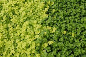 Lysimachia nummularia 'Aurea' -  Creeping Jenny, Moneywort -   Yellow blooms and bright chartreuse colored foliage bring light to a shady area.