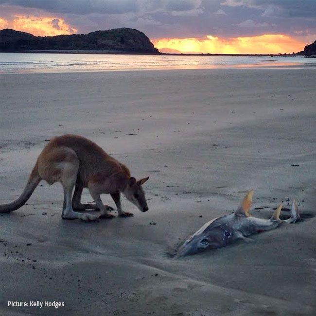 Kangaroo tells shark to hop it   dailytelegraph.com.au