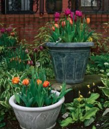 Planting tulip bulbs outdoors in containers in the Fall. a how-to by Fine Gardening...