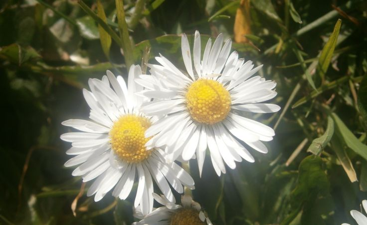 two beautiful daisies