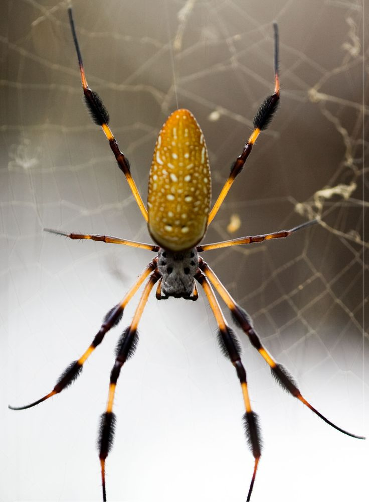 As big as your palm, with a super strong web usually at face level. These banana spiders live in northern Florida in early fall when they get really big.