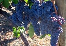 some red grapes before harvest    alcuni grappoli di uva rossa prima della vendemmia
