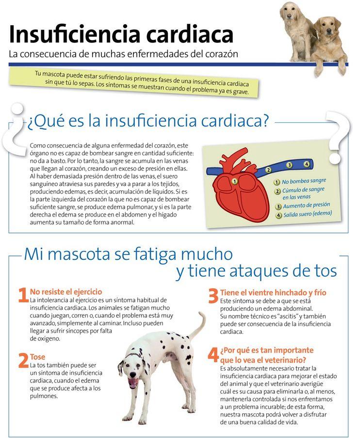 La insuficiencia cardiaca en perros. #corazón