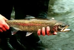 Rainbow trout: Image courtesy of US. Fish and Wildlife Service