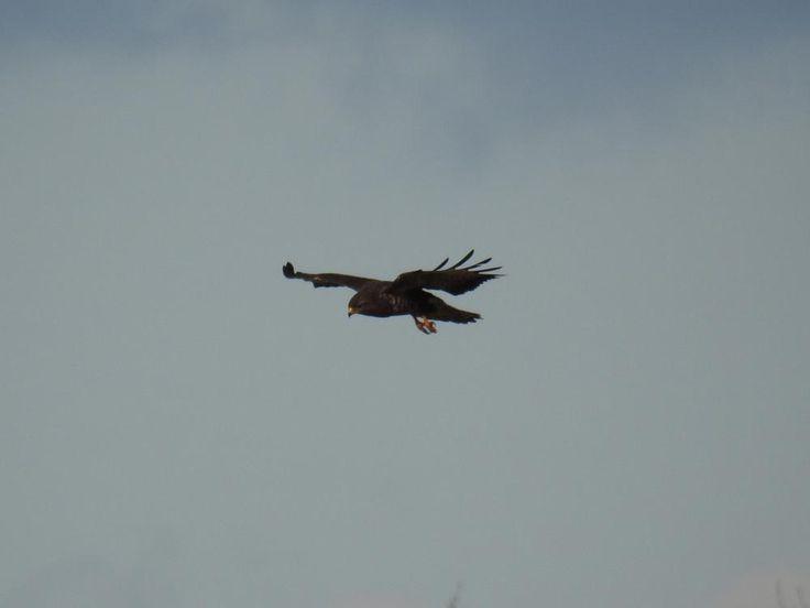 Hawk by Romuald Statkiewicz