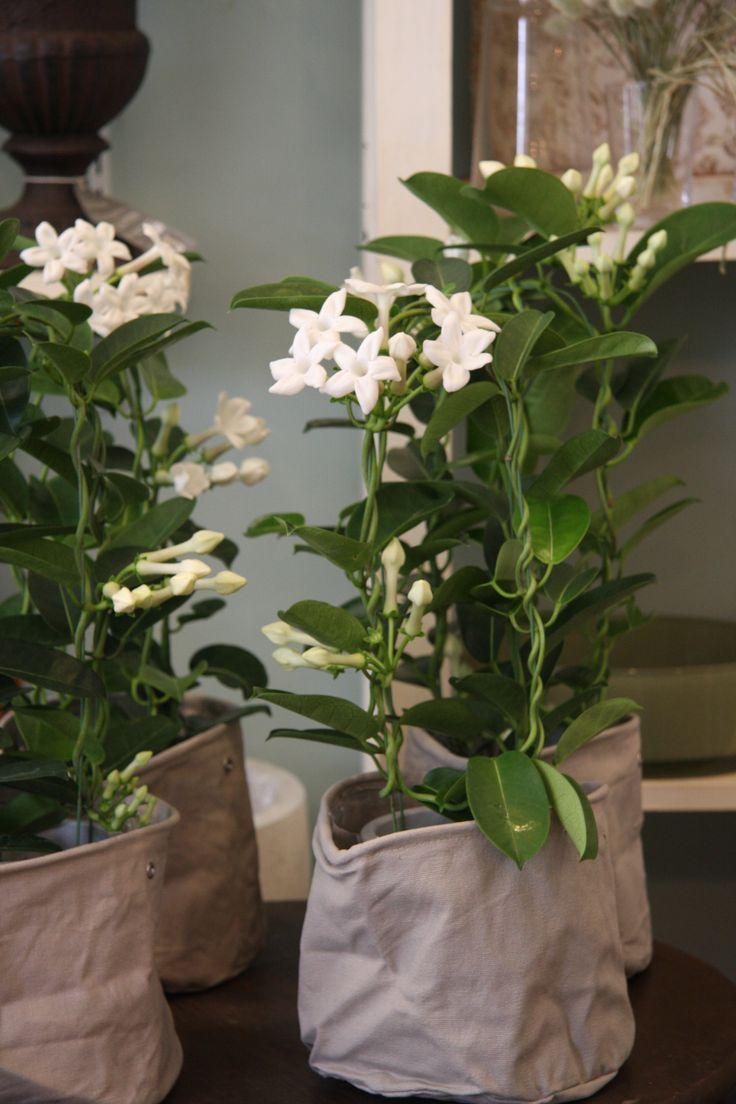 73 besten bl hende zimmerpflanzen bilder auf pinterest bl hende zimmerpflanzen aussen und. Black Bedroom Furniture Sets. Home Design Ideas