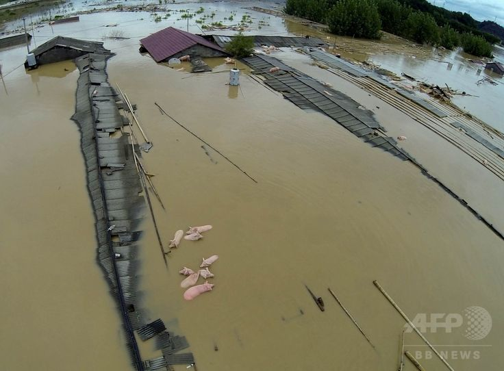 豪雨による洪水に見舞われた中国東部・浙江(Zhejiang)省麗水(Lishui)で、水に漬かった住宅の屋根の近くを流されるブタ(2014年8月20日撮影)。(c)AFP ▼23Aug2014AFP|中国・浙江省で豪雨、2万人以上が避難 http://www.afpbb.com/articles/-/3023898 #Flood