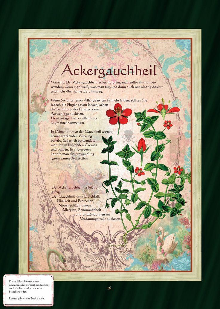 Ackergauchheil - Ackergauchheiltee