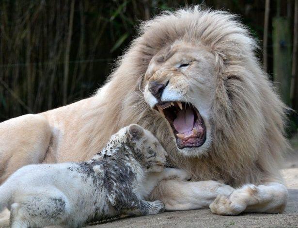 Yabu, pai desse filhotinho de leão branco de três meses, ruge do lado da cria em um zoológico em La Fleche, no noroeste da França