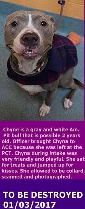 Brooklyn Center  My name is CHYNA. My Animal ID # is A1100166. I am a female gray and white am pit bull ter mix. The shelter thinks I am about 2 YEARS old.  I came in the shelter as a STRAY on 12/20/2016 from NY 11213, owner surrender reason stated was STRAY.  http://nycdogs.urgentpodr.org/chyna-a1100166/