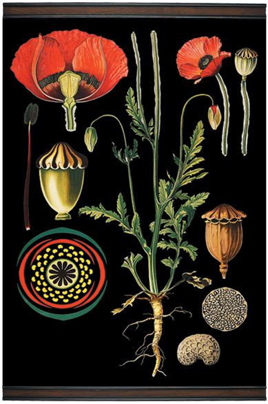 Flanders poppy botanical chart, reproduction of a 19th century illustration