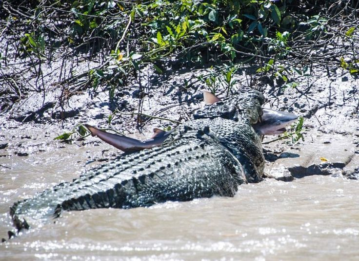 Australia ~ A Light Lunch - If a 5.5 meter crocodile eating a bull shark isn't intense, then I don't know what is. This croc is actually known on river tours as Brutus, and is distinctive for his immense size and his missing right forearm.