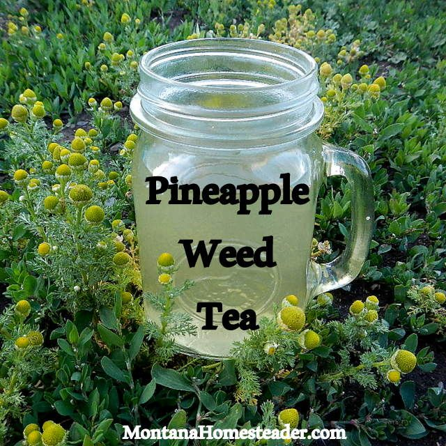 """Pineapple Weed, also called Wild Chamomile, is a common """"weed"""" that makes a delicious herbal tea you can forage for free! Montana Homesteader"""
