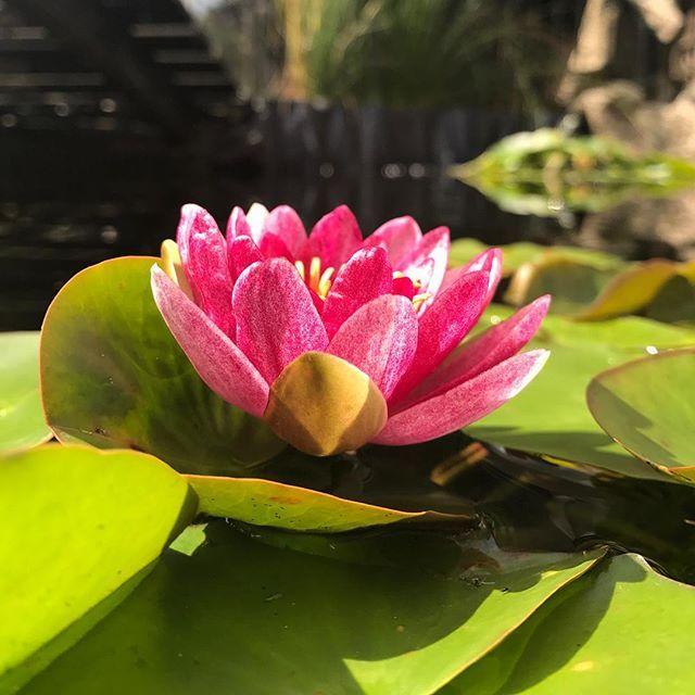 #frogperspective #lowangleshot #lowanglephotography #downtoearth #frombelow #pointofview #kikkerperspectief #laagbijdegrond #elkedageenfoto #project2017 #everydaypicture #waterlily #lily #lilyleaf #fleurdeluce #flower #pond #pondplants #pink #pinklily #nofilter #lelie #waterlelie #roze #bloem #rozelelie #vijver #geenfilter #mymothersgarden #flowermagic