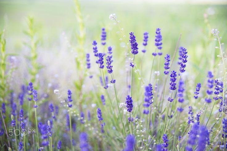 Lavender dream - sometimes dreams come true