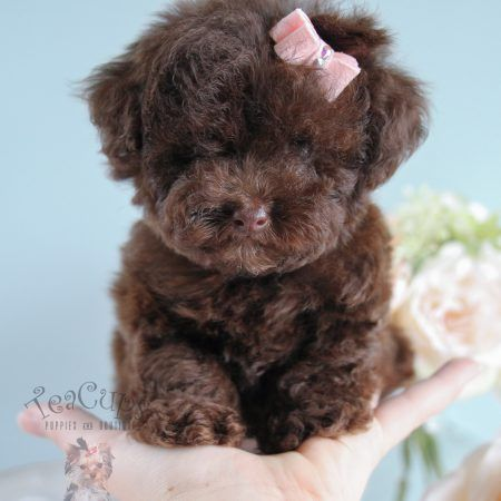 Chocolate Poodle Puppies available at Teacups Puppies and Boutique! #210