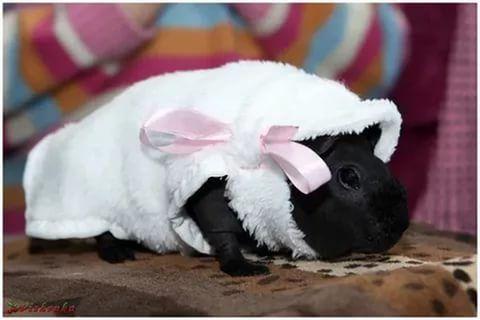 одежда для морских свинок: 26 тис. зображень знайдено в Яндекс.Зображеннях