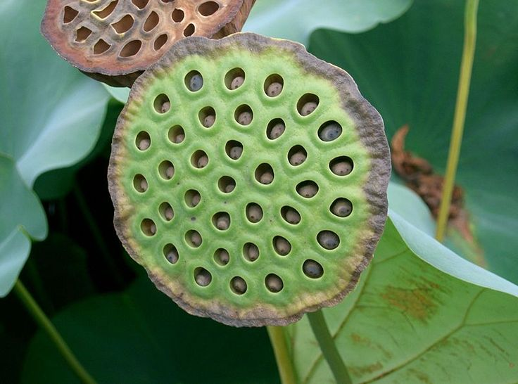 Lotus Container Ponds   Lotus Care – Growing the Sacred Lotus in Your Pond