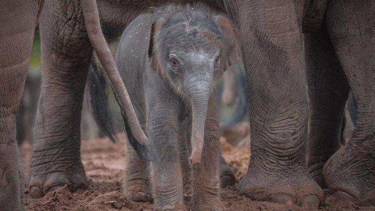 AMAZING night cam footage has captured the birth of an Asian elephant at Chester Zoo. Following a 22 month gestation, and a short 20 minute labour, the male calf was born to two-year-old mum Sithami Hi Way. Zoo keepers stayed up to monitor the birth via live CCTV and watched in awe as the baby dropped onto soft sand and scrambled to his feet in minutes.                                           Videographer / director: ZooBorns                     Producer: Hannah Stevens, Nick Johnson…
