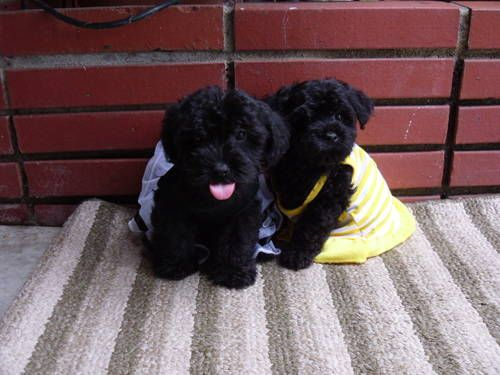 I didn't think I'd like smaller dogs, but I saw a black Maltese/Poodle mix puppy today and I about died of cuteness