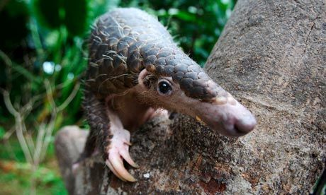 Pangolins under threat as black market trade grows - The scaly anteater is less well-known compared with other illegally hunted species, but it is highly prized by traffickers