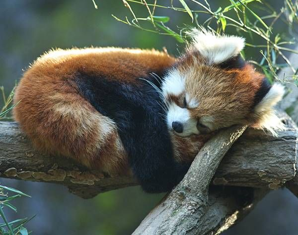 Favori 121 best Red Panda images on Pinterest | Red pandas, Baby animals  OH52