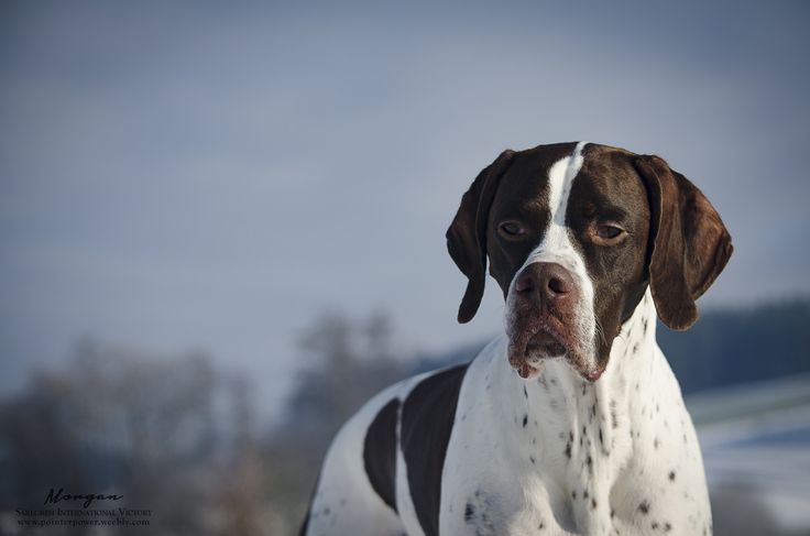 I was always interested in taking photos and everything about photography.  It's a really beloved hobby to me and I'm glad is somebody like my pictures :)  I undertake to make photoshootings with...Morgan - Multi CH Saregresi International Victory #englishpointer #pointer  #morganthepointer