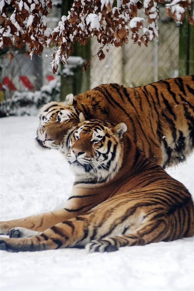 Deux tigres de Sibérie dans la neige du zoo de Mulhouse en février