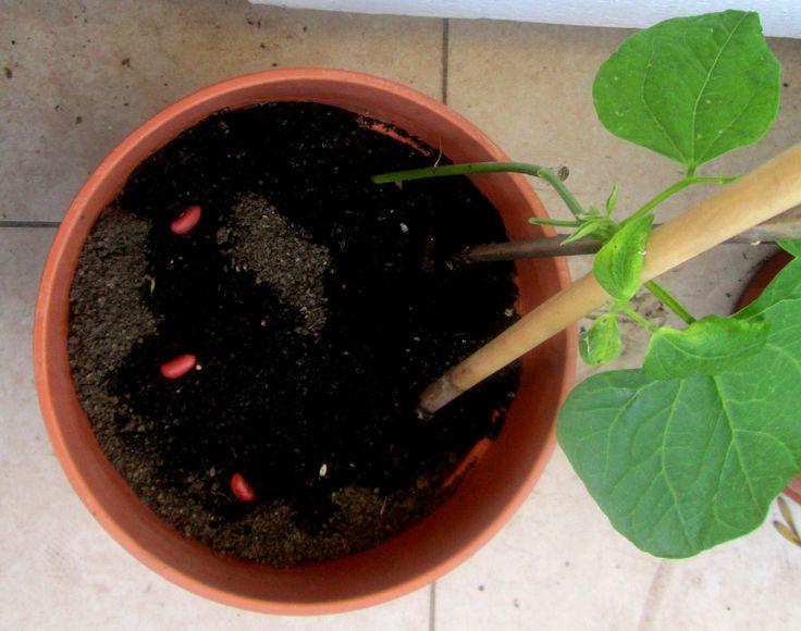La planta de poroto colorado
