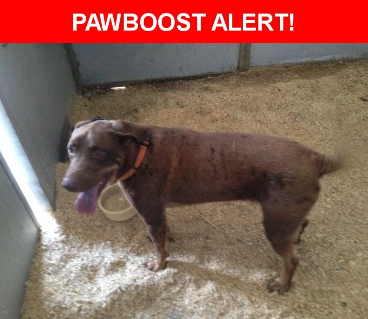 Is this your lost pet? Found in Argyle, TX 76226. Please spread the word so we can find the owner!  Chocolate lab/Blood hound mix.  Very friendly, wearing an orange collar, does not have tags and is not micro-chipped.  Highway 377 and Hickory Hill Road