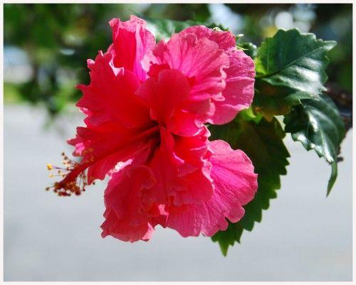 Aloha-flowers
