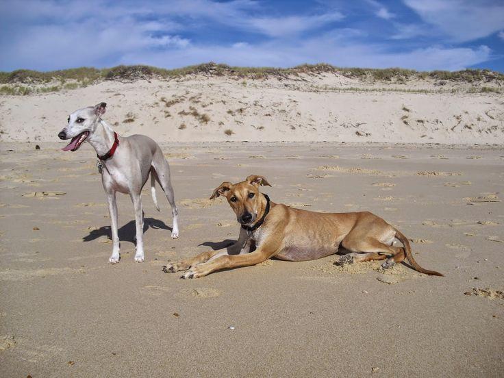 Himage et Jouska lévriers plage de lacanau pose