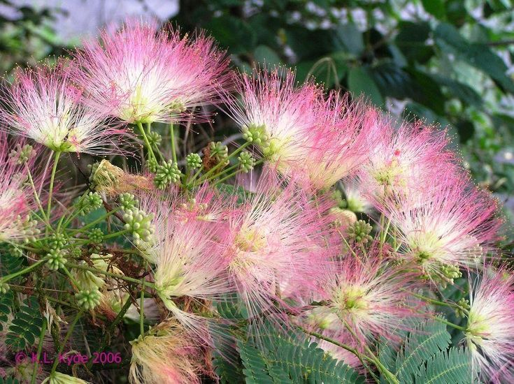 Mimosa tree  - Albizia julibrissin is a small deciduous tree growing to 5–12 m tall, with a broad crown of level or arching branches. The flowers are produced throughout the summer in dense inflorescences, the individual flowers with no petals but a tight cluster of stamens 2–3 cm long, white or pink with a white base, looking like silky threads. They have been observed to be attractive to bees, #butterflies and #hummingbirds.