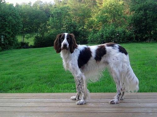 French Spaniel / Epagneul Français (Epagneul Francais) #Dogs #Puppy
