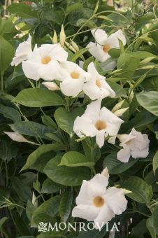 Monrovia's Sun Parasol® Giant White Mandevilla details and information. Learn more about Monrovia plants and best practices for best possible plant performance.