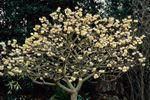 Snow Cream Paper Plant for sale buy Edgeworthia chrysantha 'Snow Cream' -8' tall x 8' wide