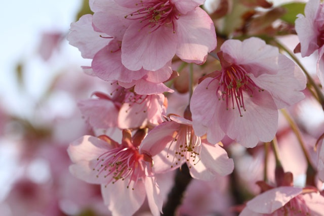 cherry blossoms(河津桜)