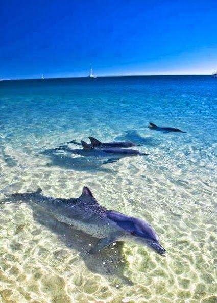 Dolphins at Monkey Mia,#Australia