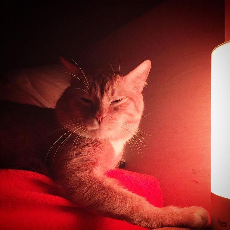 """Słodki koteczek  Troszkę mi smutno że zostaje u """"teściowej"""" bo jest uroczym zwierzakiem którego uwielbia Dziuba. Z drugiej strony koncerty darcia mordy w środku nocy i sikanie po złości upewniają mnie w naszej decyzji. Jednak tak będzie zdrowiej dla naszej i futrzaka psychiki.  #kot #kotek #koteczek #cat #ilovecat #instacat #instakot #zwierzak #zwierzęta #zwierzę #rudykot #instacats #cats #ChicaMalaPL"""