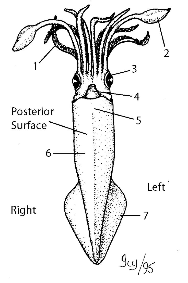 lab sheet squid dissection marine science pinterest science fun. Black Bedroom Furniture Sets. Home Design Ideas
